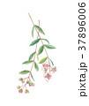 ヘナ ヘンナ 指甲花のイラスト 37896006