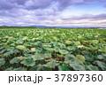 夕暮れの蓮畑 37897360