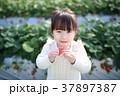 苺狩り (子供 幼児 女性 イチゴ いちご 苺 フルーツ 果物 レジャー ビニールハウス デザート) 37897387