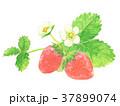 水彩 花 苺のイラスト 37899074