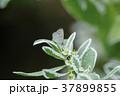 蝶 昆虫 シジミチョウの写真 37899855