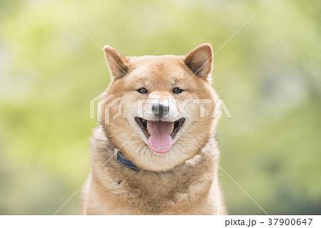 新緑背景の笑顔の柴犬 37900647