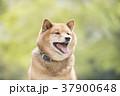 新緑背景の笑顔の柴犬 37900648