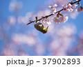桜 メジロ 鳥の写真 37902893