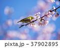 桜 メジロ 鳥の写真 37902895