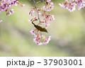 桜 メジロ 鳥の写真 37903001