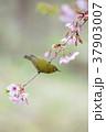 桜 メジロ 鳥の写真 37903007