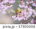桜 メジロ 鳥の写真 37903008