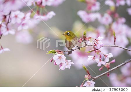 桜とメジロ 37903009