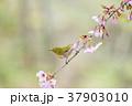 桜 メジロ 鳥の写真 37903010
