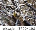 雪 白梅 梅の写真 37904108