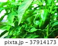 畑のピーマン 37914173