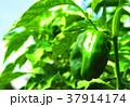 畑のピーマン 37914174