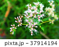 フジバカマの花 37914194