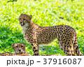 チーターの母と息子 37916087