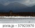 冬 シラカバ 小田代原の写真 37923970