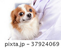 チワワ わんこ 犬の写真 37924069