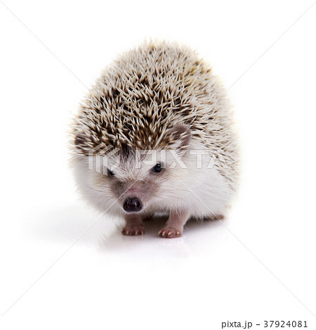 Hedgehog looking forward on white background. 37924081