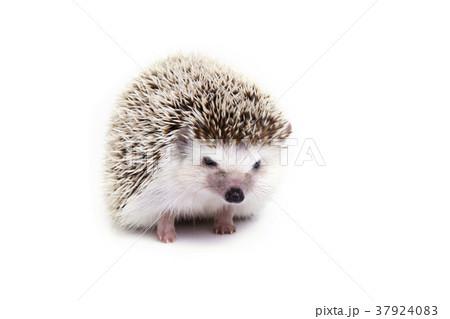 Little hedgehog on white background. 37924083