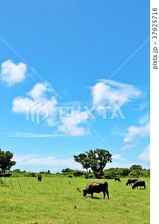 沖縄 夏の青空と草原の水牛たち 37925716