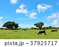 青空 草原 放牧の写真 37925717