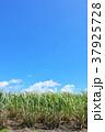 サトウキビ畑 沖縄 波照間島の写真 37925728