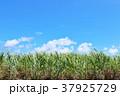 サトウキビ畑 沖縄 波照間島の写真 37925729