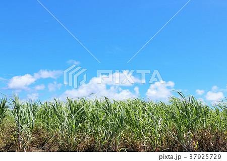 沖縄 波照間島のサトウキビ 37925729