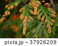 杉花粉 花 スギの写真 37926209
