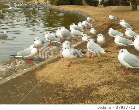 稲毛海浜公園の池に来た冬の渡り鳥ユリカモメ 37927712
