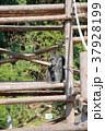 チンパンジー 動物 猿の写真 37928199