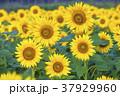 花の都公園 ヒマワリ ひまわりの写真 37929960