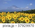 花の都公園 ヒマワリ 富士山の写真 37929970