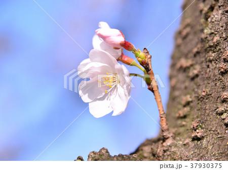 桜-33510 37930375