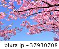 花 河津桜 カワヅザクラの写真 37930708