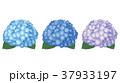 紫陽花 37933197
