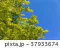 紅葉 (4月 新緑) 37933674