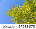 紅葉 (4月 新緑) 37933675