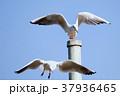 カモメ 鳥 海鳥の写真 37936465