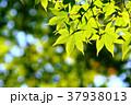 モミジ 新緑 若葉の写真 37938013