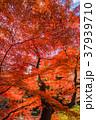 紅葉 赤 秋の写真 37939710