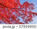 紅葉 赤 秋の写真 37939930