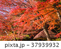 紅葉 赤 秋の写真 37939932