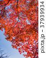 紅葉 赤 秋の写真 37939934