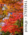 紅葉 赤 秋の写真 37939941