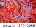 紅葉 赤 秋の写真 37940056