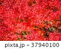 紅葉 赤 秋の写真 37940100