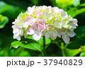 紫陽花 花 花びらの写真 37940829