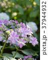 紫陽花 あじさい 紫の写真 37944932