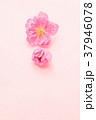 春 桃色 花の写真 37946078